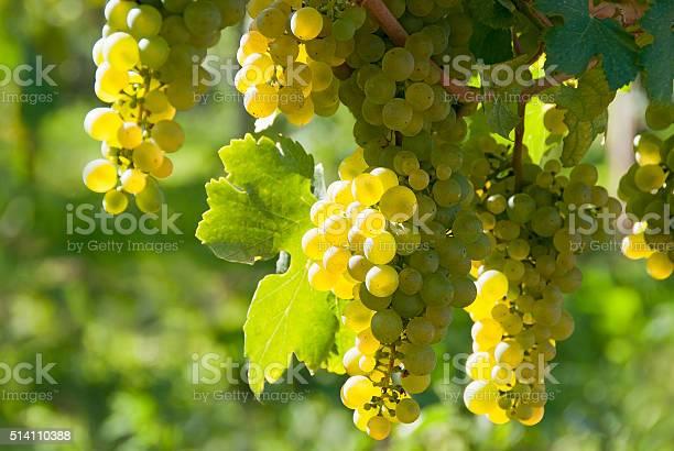 Weißer Wein Traubenwachau Stockfoto und mehr Bilder von Baum