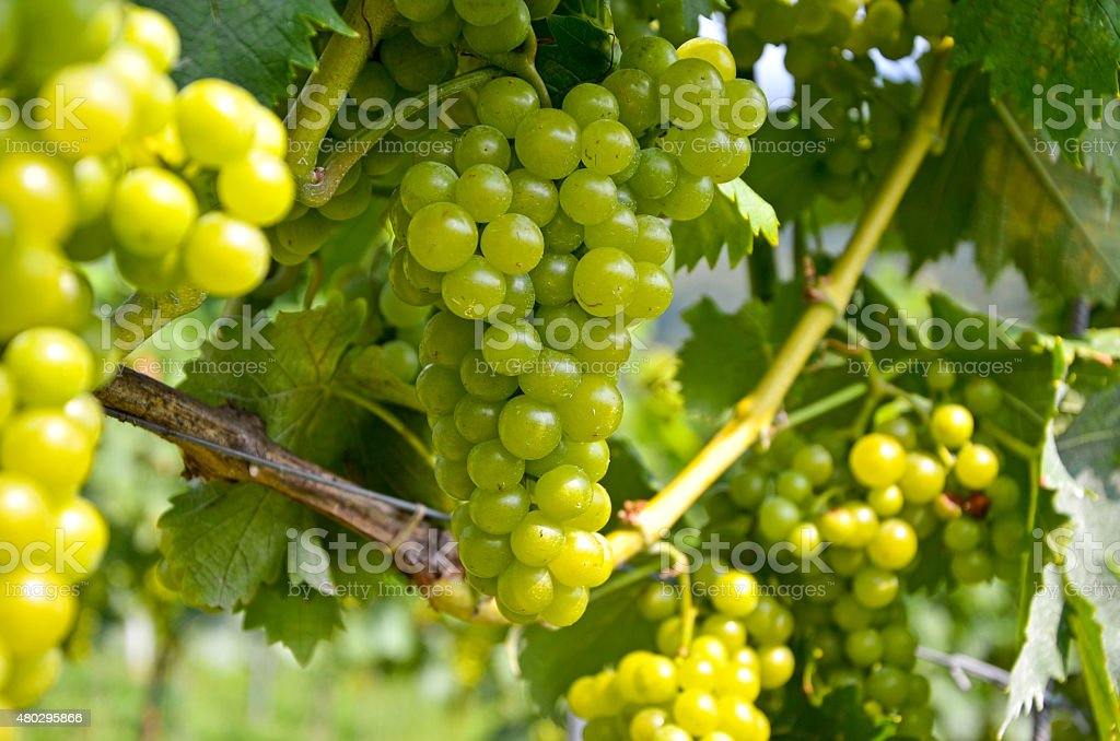 White wine: Vine with grapes before vintage - harvest stock photo