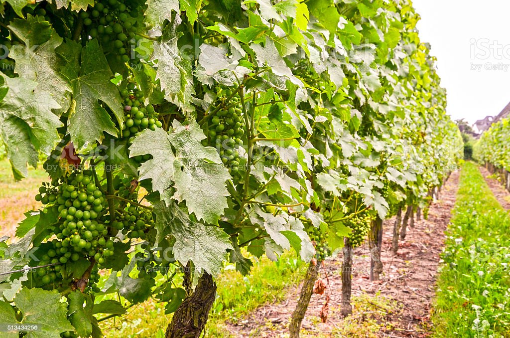 White wine: Vine with grapes in summer before vintage stock photo