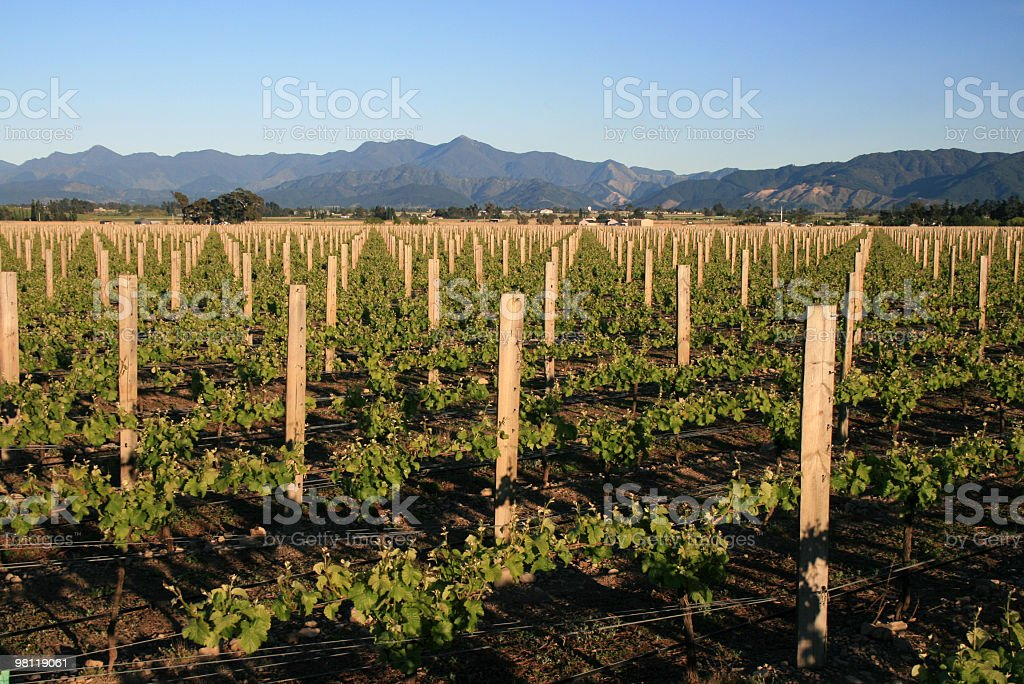 Vigneto Vino bianco foto stock royalty-free