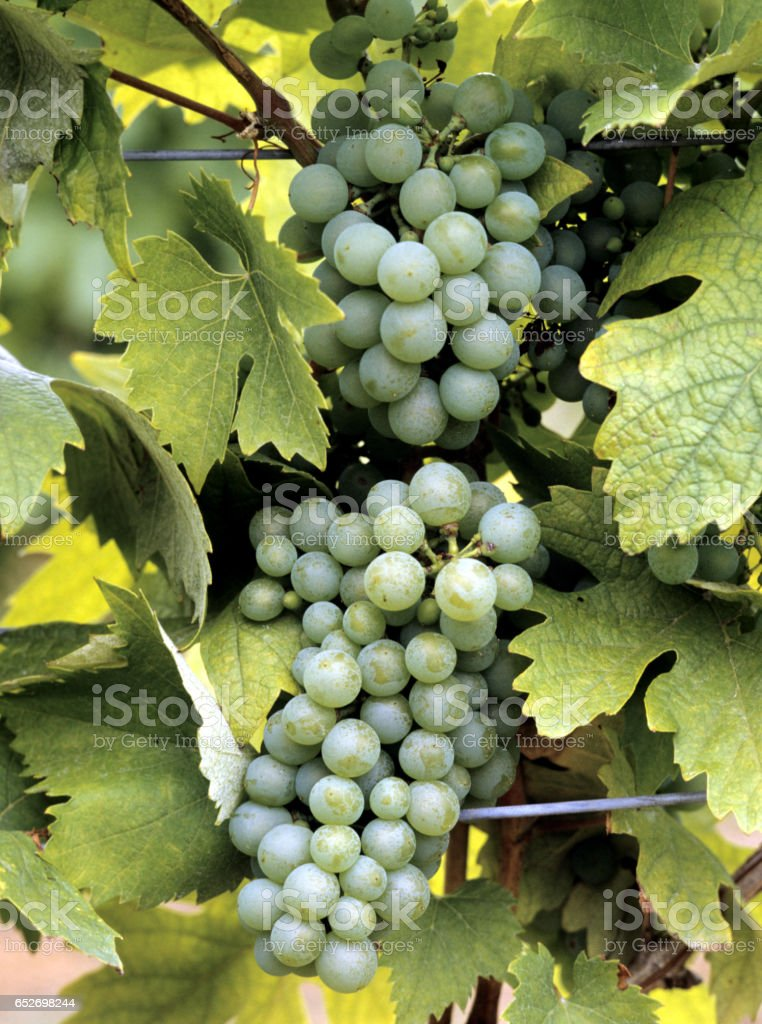 White wine, Vitis, vinifera, B'u201an'u201ati Rizling, Vitis vinifera, stock photo