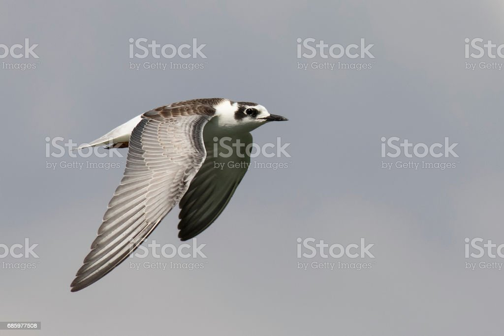 White Winged Black Tern in Flight stock photo
