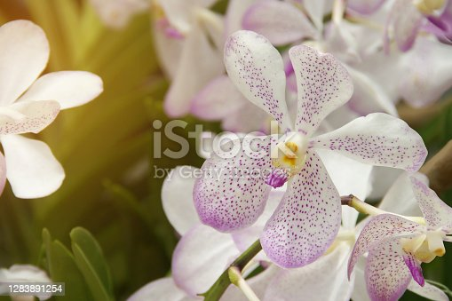 White with Purple Dotted Vanda Orchid Flowers in the Garden