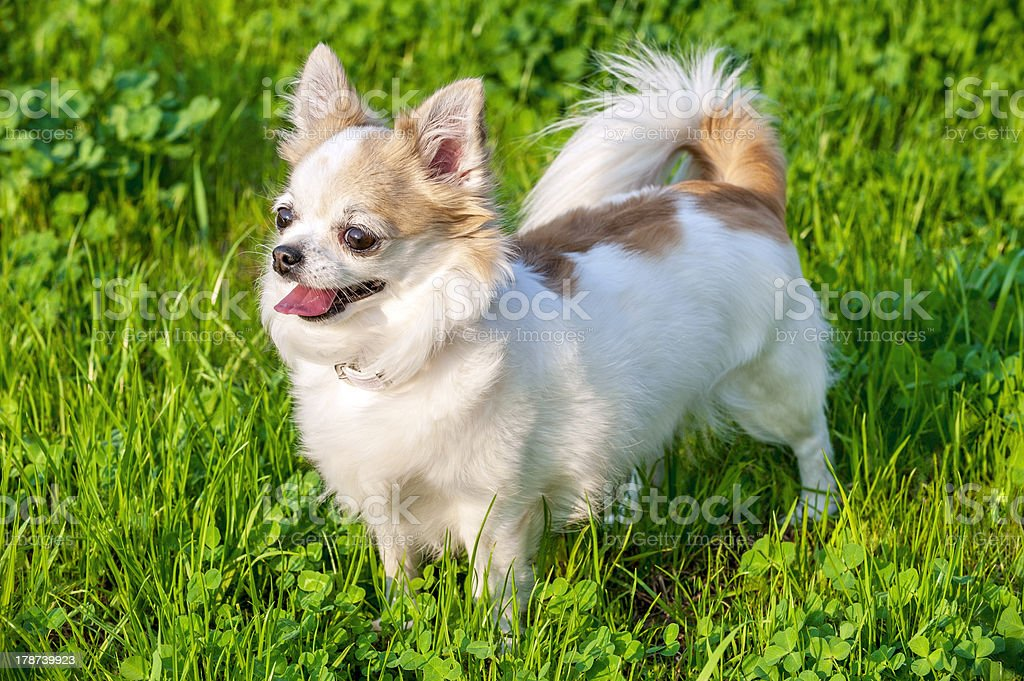 White with red long-haired Chihuahua dog on green lawn background stock photo