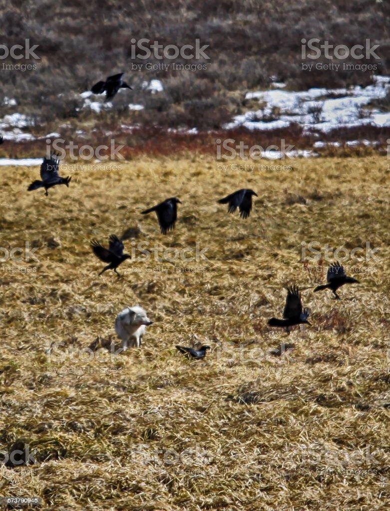 Siyah Kuzgunlar arasında beyaz kurt royalty-free stock photo