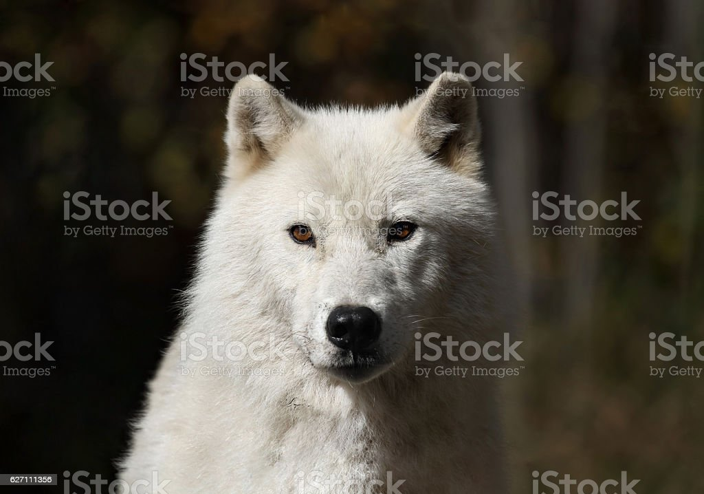 white wolf during fall stock photo