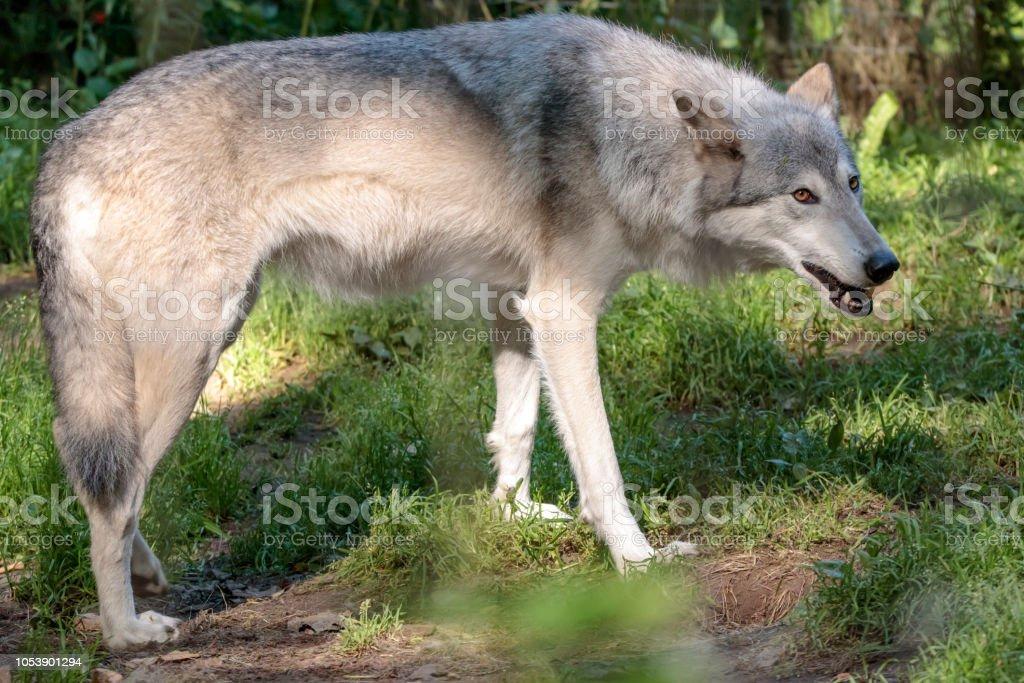 Lobo blanco en el bosque de Alaska - foto de stock