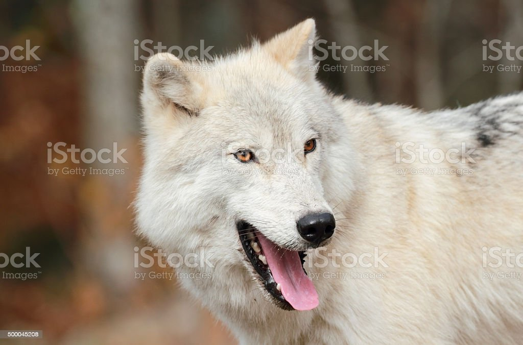 white wolf in fall stock photo
