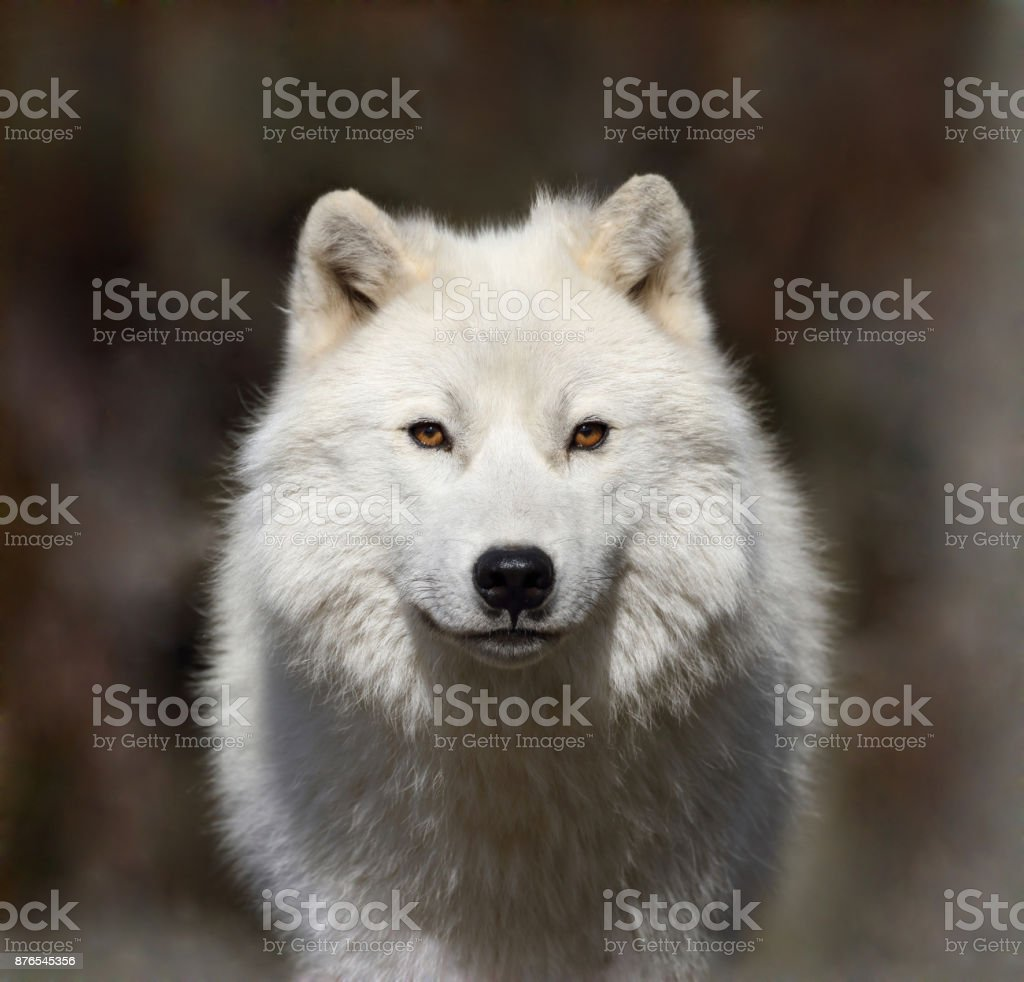 white wolf in fog stock photo