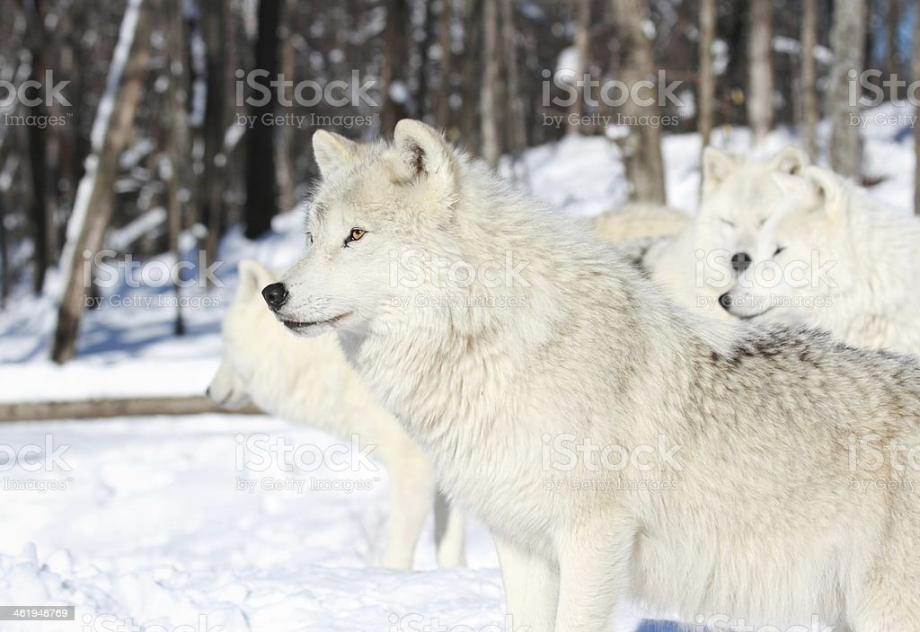 white wolf in nature stock photo