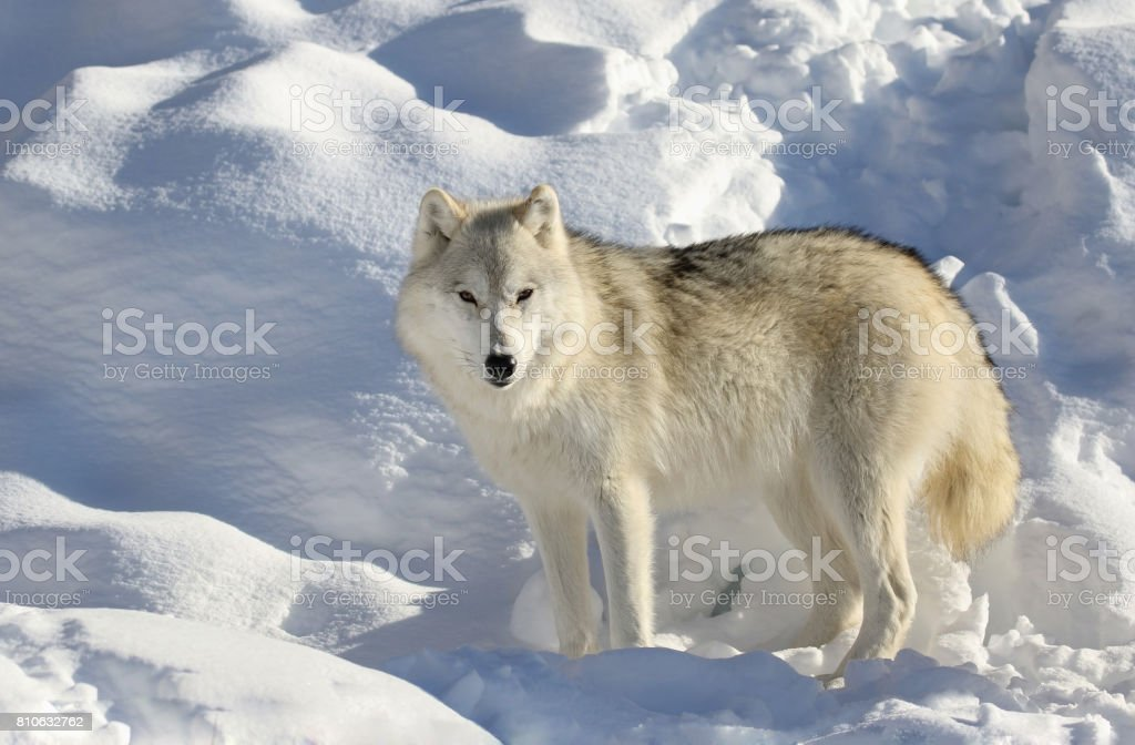 white wolf in snow stock photo