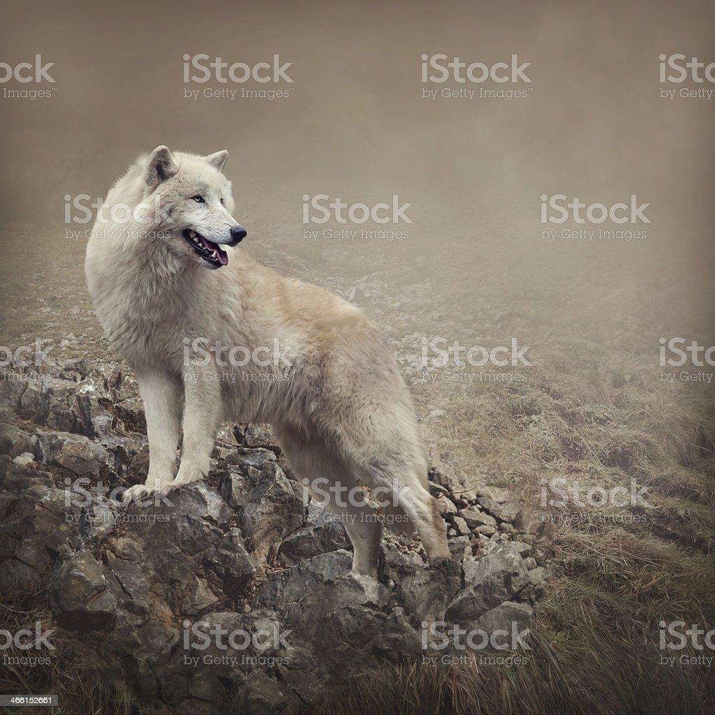 White wolf – Foto