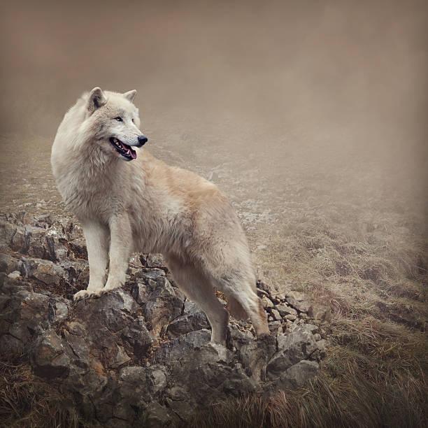 white wolf - lobo cinzento imagens e fotografias de stock