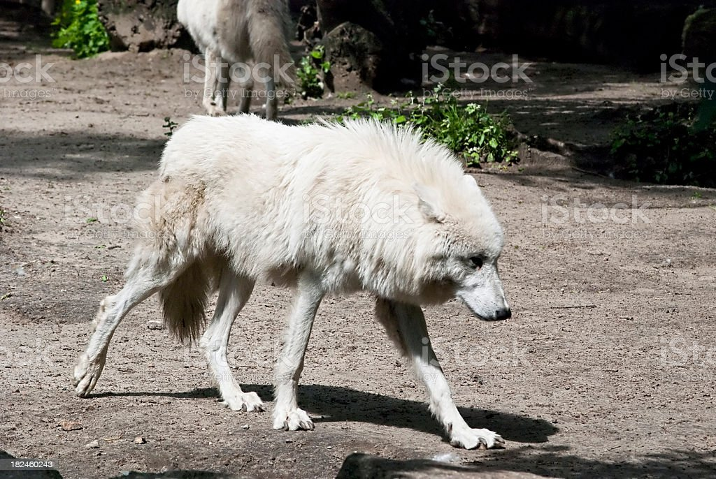 White Wolf in the Zoo royalty-free stock photo