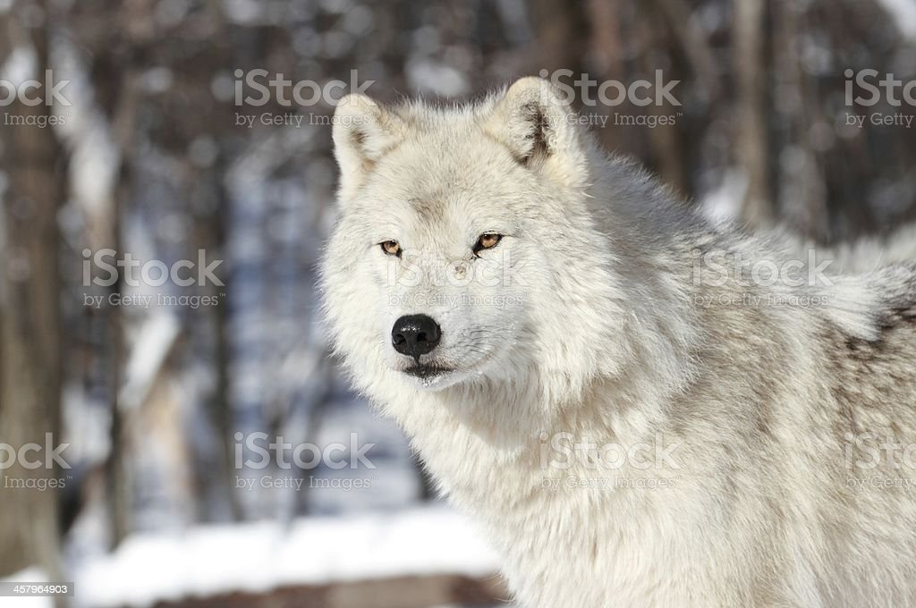 white wolf in winter stock photo