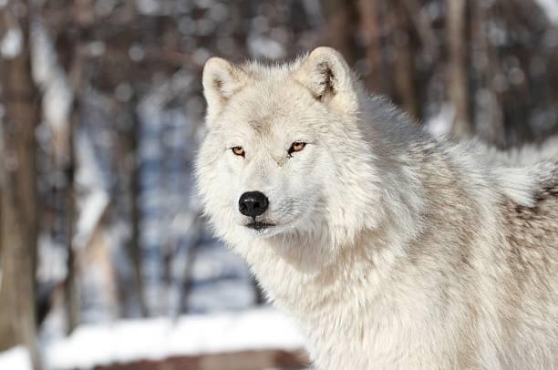white wolf in winter stock photo