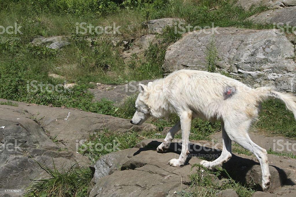 White Wolf with an injury stock photo