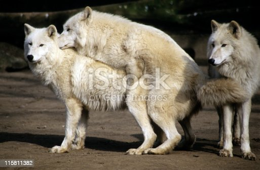 white wolves mating stock photo amp more pictures of