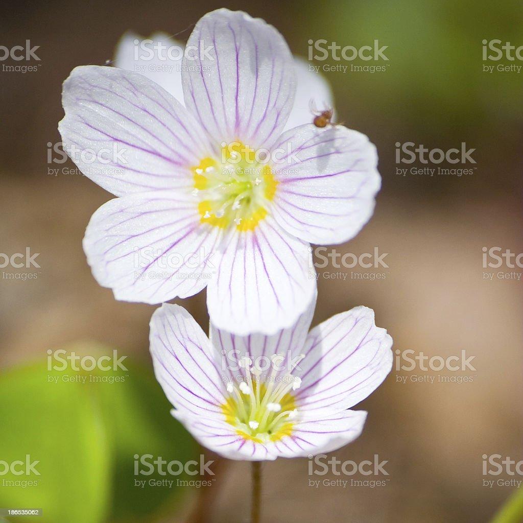 White wood anemone flowers stock photo