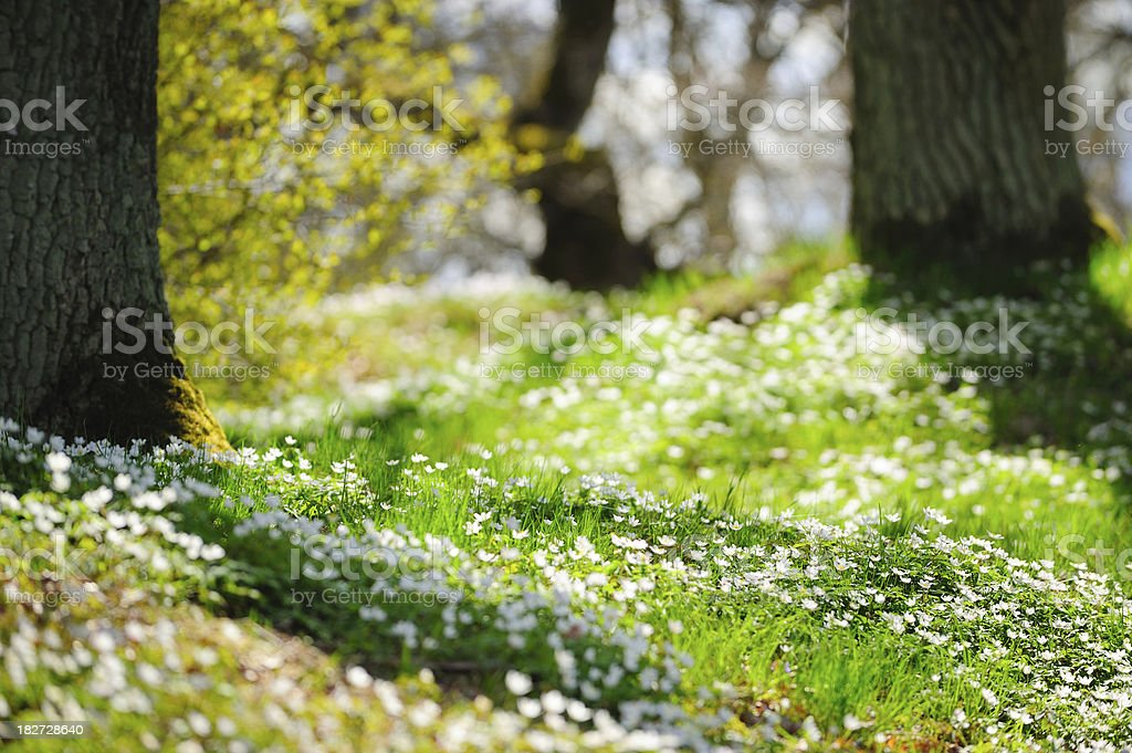 White wood anemone in oak forest royalty-free stock photo
