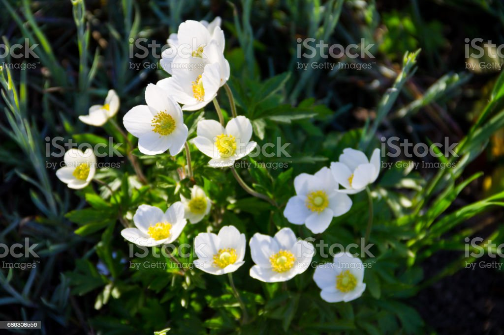 White wood anemones flowers (Anemone nemorosa) stock photo