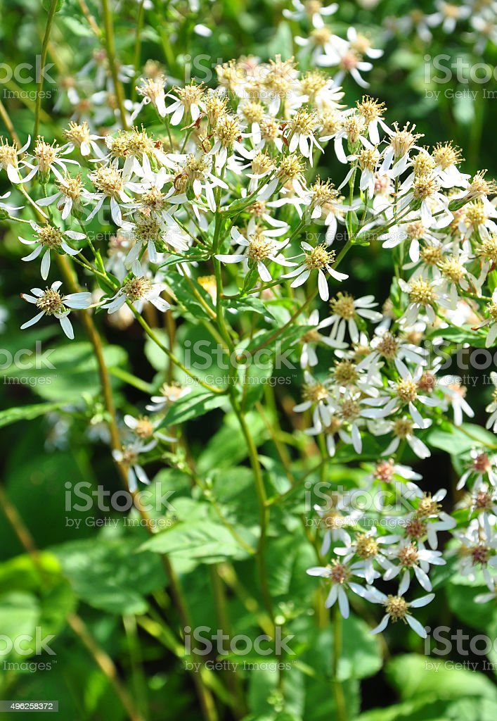 White wood aster (Eurybia divaricata) stock photo