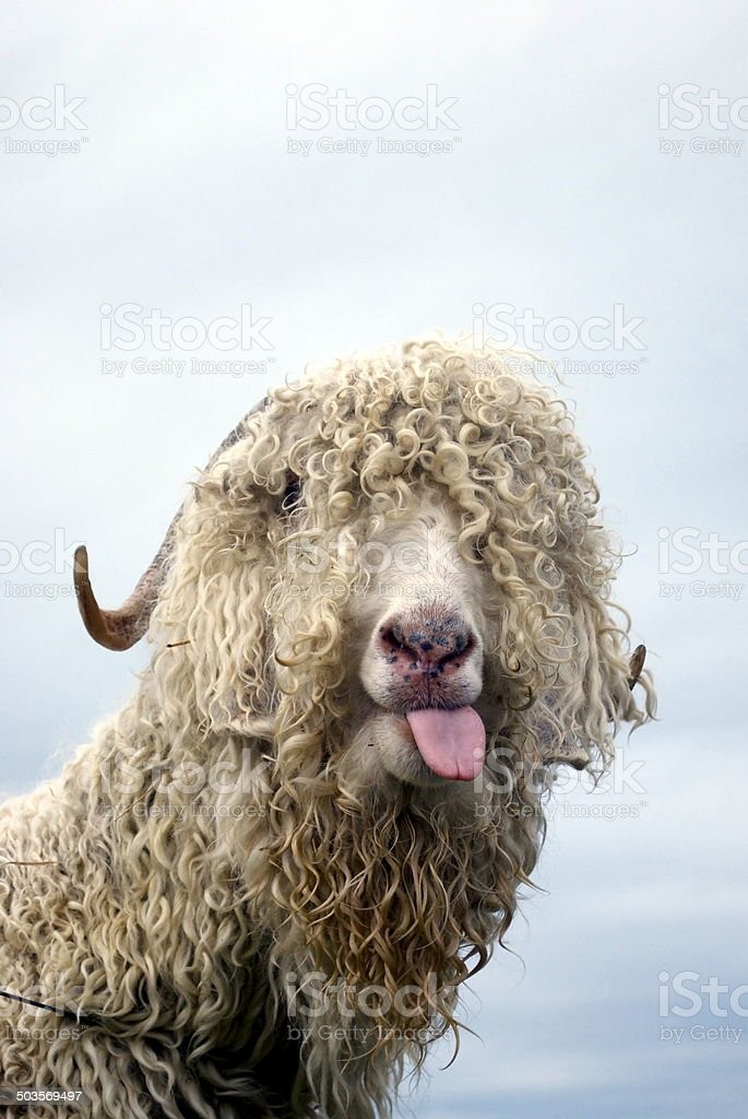White Wooly Goat Poking out Tongue stock photo