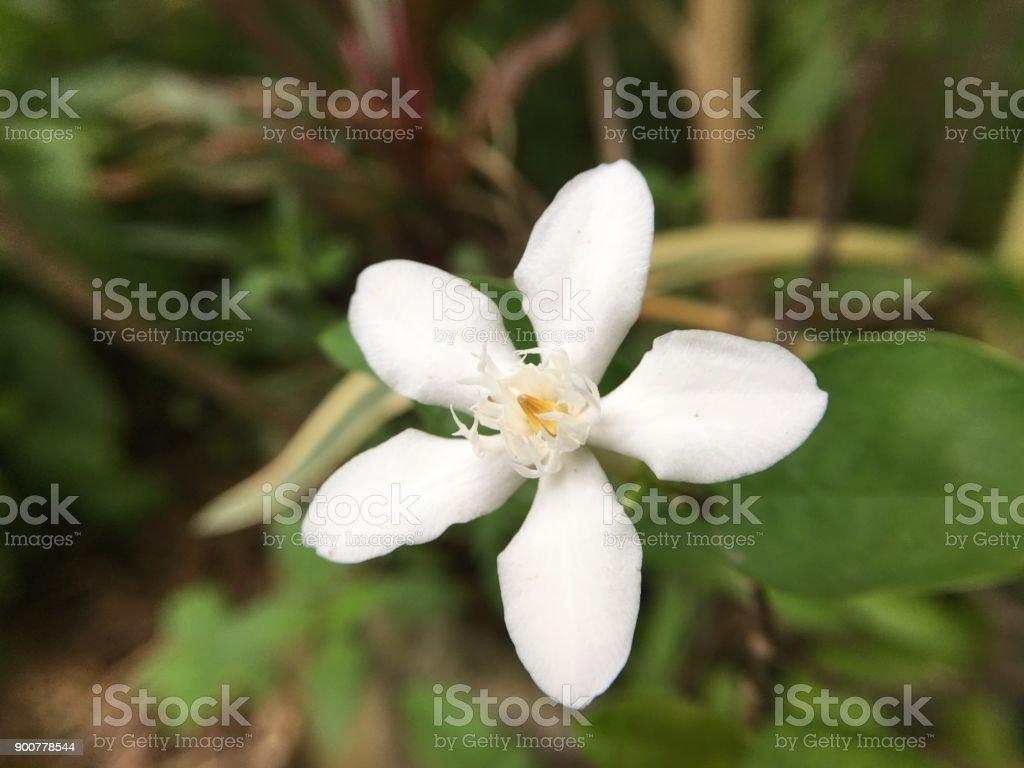 White Wrightia antidysenterica flower stock photo