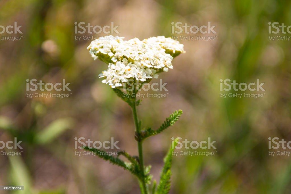 White yarrow flower (Achillea millefolium). Medicinal plant stock photo