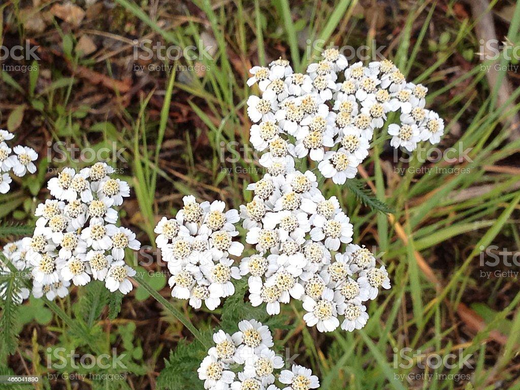 White yarrow flower stock photo