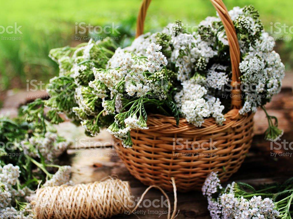 white yarrow in basket stock photo
