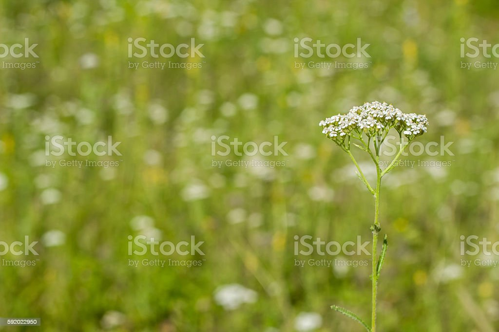 white yarrow on a blurred background стоковое фото