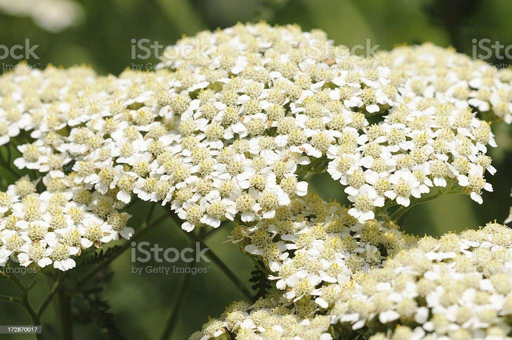 White Yarrow royalty-free stock photo