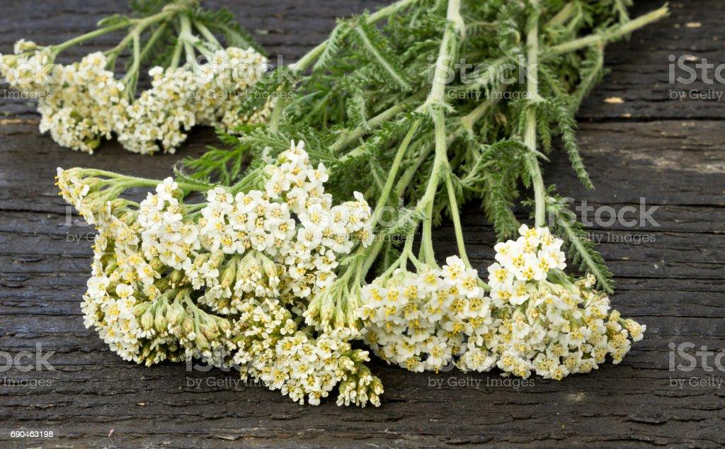 White Yarrow (Achillea millefolium) stock photo