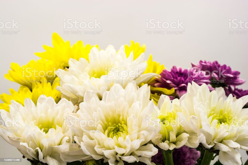 White, yellow and purple chrysanthemums. стоковое фото