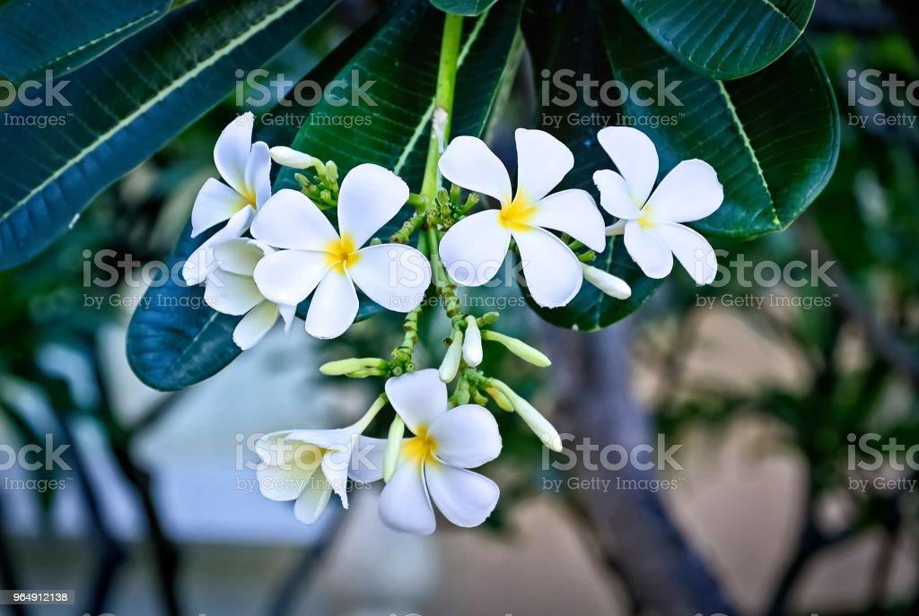 白色黃色花雞蛋 - 免版稅傳統園林圖庫照片