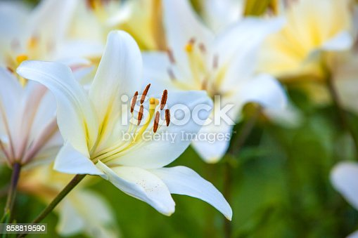 istock White yellow lilies at sunset in the garden 858819590