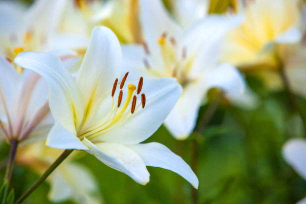 White yellow lilies at sunset in the garden Yellow Asiatic Lilies in a flower garden lily stock pictures, royalty-free photos & images