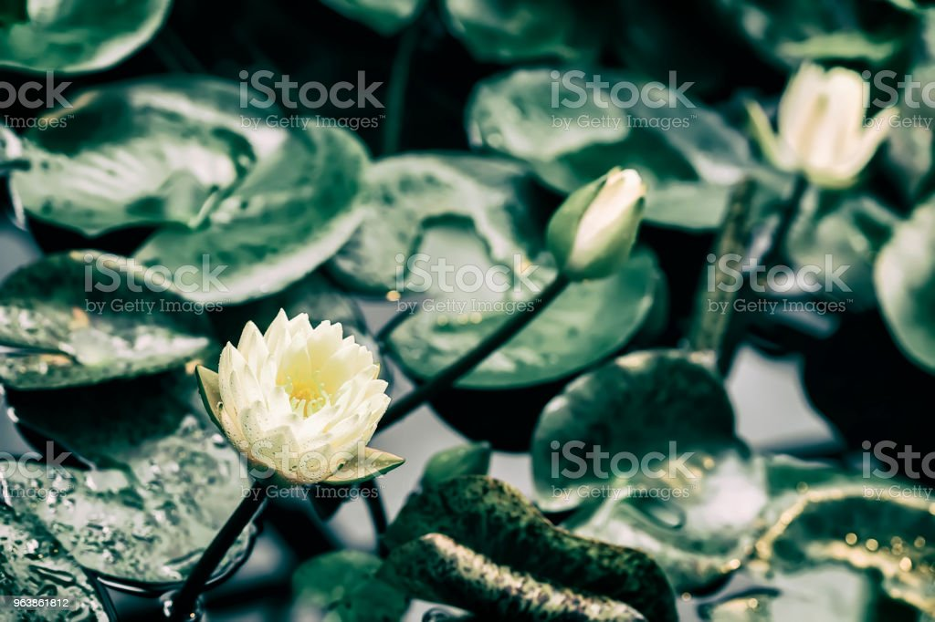 White yellow lotus blossoms, water plant in pond, unreal flower, toned exotic botanical backdrop. Tropical , botanical nature concepts and ideas - Royalty-free Animal Wildlife Stock Photo