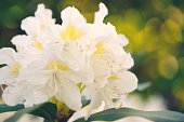 white yellow rhododendron blooming in springtime.