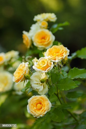 White yellow roses bloom in the garden, white roses on a blurred background, flowers with copy space, bouquet preparation, spring garden