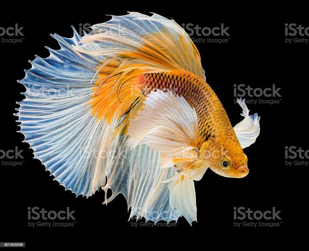 white & yellow siamese fighting fish stock photo
