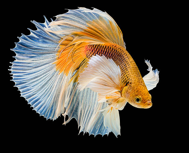 Royalty free siamese fighting fish pictures images and for Japanese fighter fish