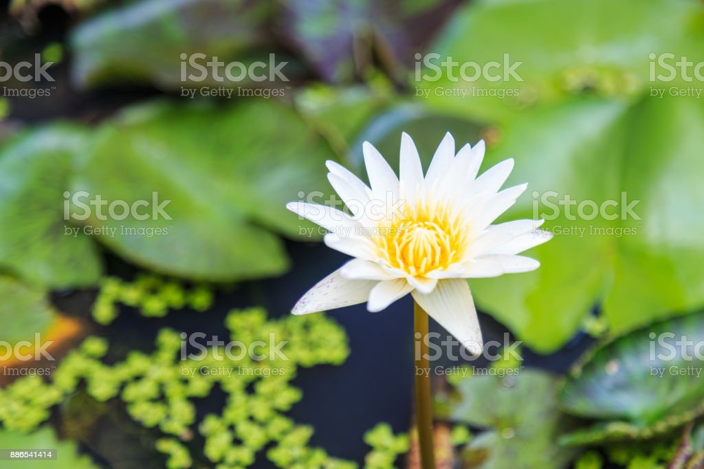 White Yellow water lily flower and plants. stock photo