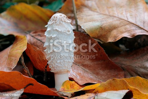 Coprinus comatus, the shaggy ink cap, lawyer's wig, or shaggy mane, is a common fungus often seen growing on lawns, along gravel roads and waste areas.