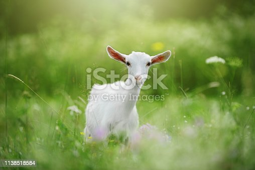 istock White young goat in the grass. Bokeh 1138518584