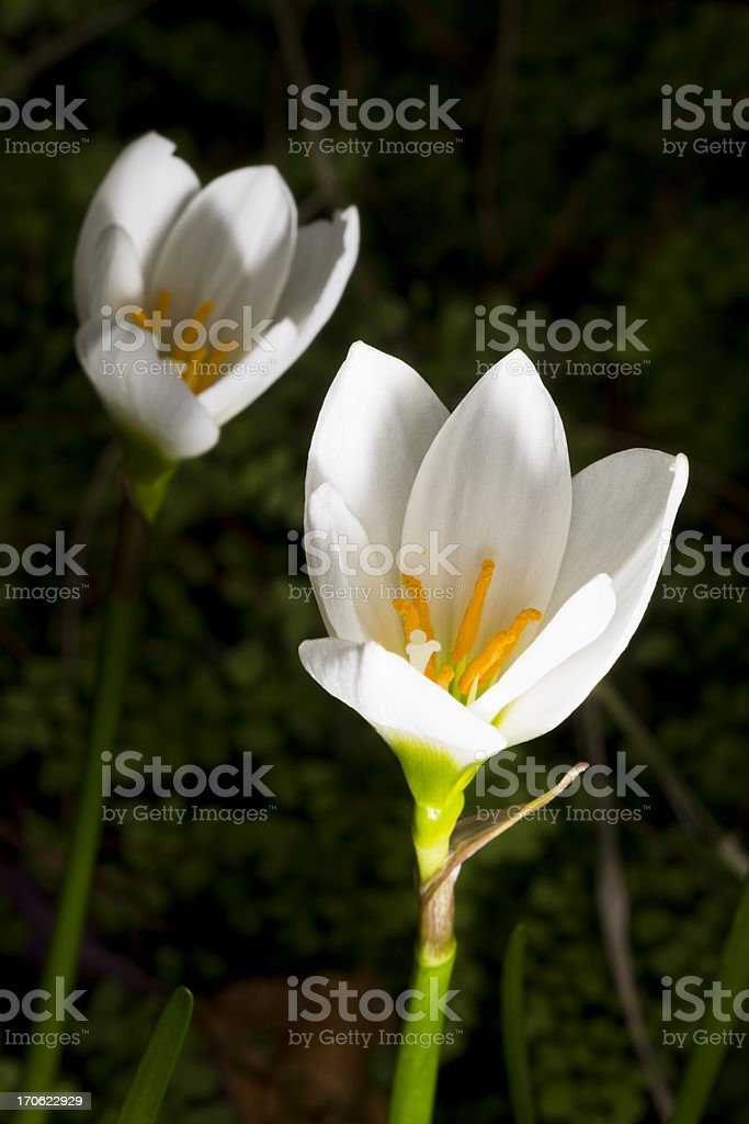 White Zephyranthes lily royalty-free stock photo