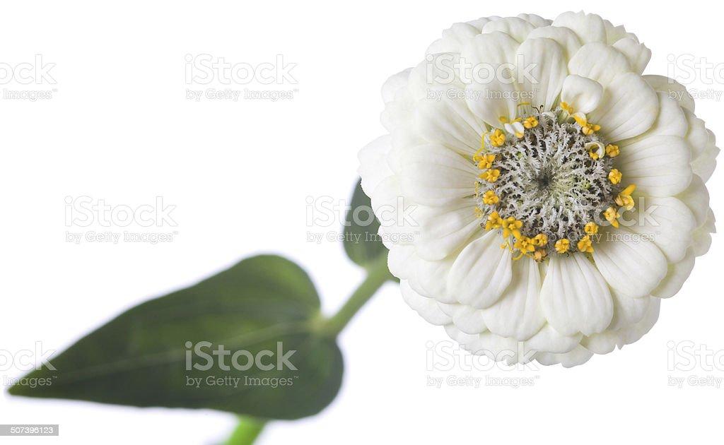 White zinnia stock photo
