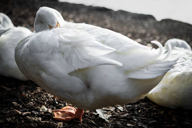 White_ducks_sleeping_in_group stock photo