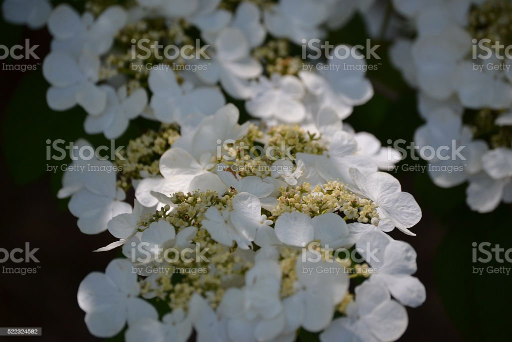 White_Flowers stock photo